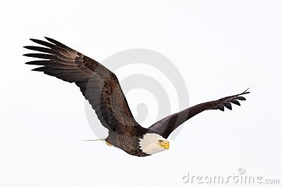 летание облыселого орла