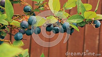 Летом на ветке Буша в саду HD 1920x1080 подвешена ягодка из черники сток-видео