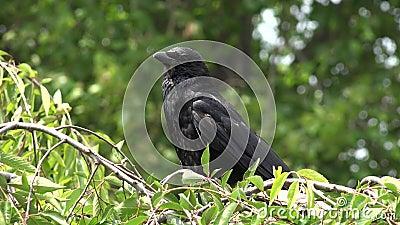 Летучая плита 4К, Рэйвен, Черные птицы на ветке в вишневом дереве, природа в летнем представлении видеоматериал