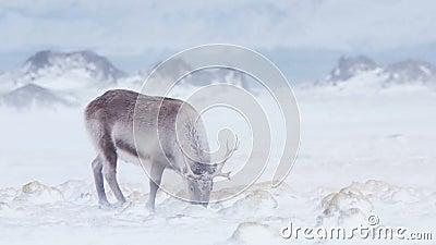 Ледовитая живая природа - северный олень в вьюге снега сток-видео