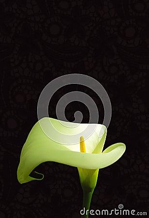 лилия arum