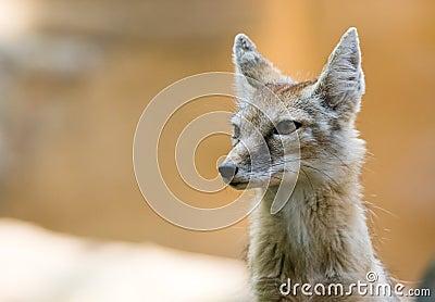 лисица corsac