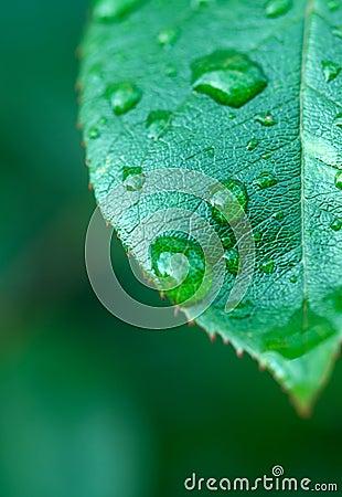 листья влажные