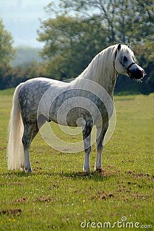 лошадь серого цвета красотки