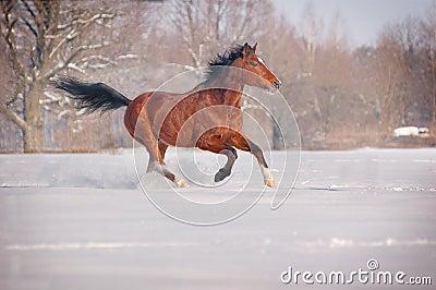 лошадь залива galloping