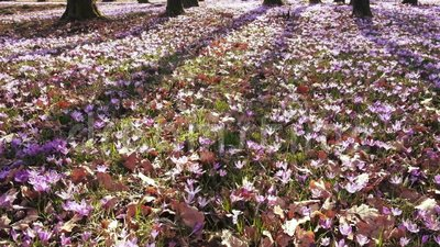 Луг крокуса цветет весной лес акции видеоматериалы