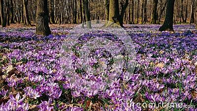 Луг крокуса цветет весной лес сток-видео
