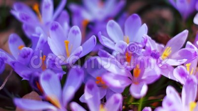 Луг крокуса цветет весной лес видеоматериал