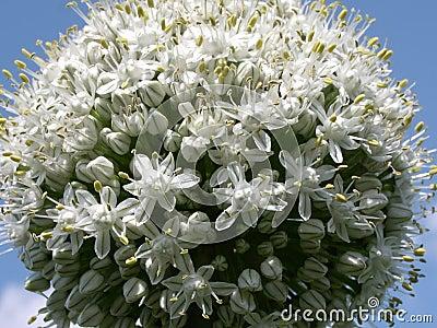 лук 2 цветков