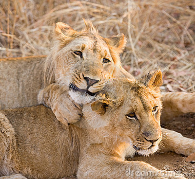 львы 2 детеныша