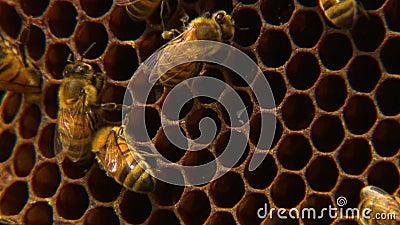 Макрос пчел работая на их соте сток-видео