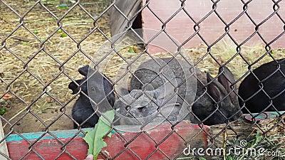 Маленькие руки ребенка кормят милые серые и черные кроликов в клетке Зайчик есть зеленую траву акции видеоматериалы