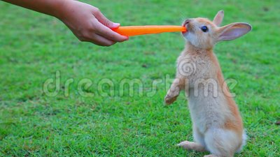 Милый молодой маленький зайчик морковь руки питаясь пока стоящ на поле травы луга акции видеоматериалы