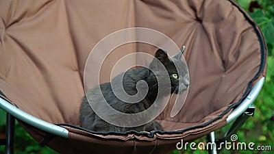 Милый серый кот с ярко-желтыми глазами выпрыгивает из кресла сток-видео