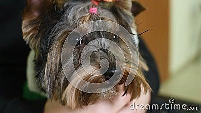 Милый смешной йоркширский терьер с покрашенным эластичным barrette на голове акции видеоматериалы