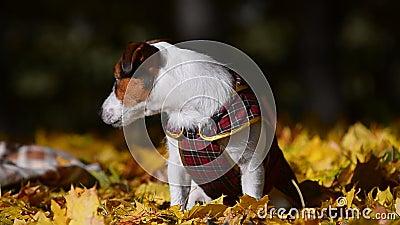 Милый doggy в куртке видеоматериал