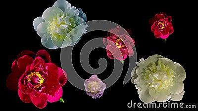 Много пион цветя Timelapse 4k видеоматериал