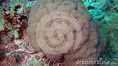 Мозговой коралл ловит планктон на коралловом рифе в Красном море видеоматериал