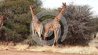 2 молодых мужских жирафа увиденное бой для привязанностей женщины в Ботсване видеоматериал