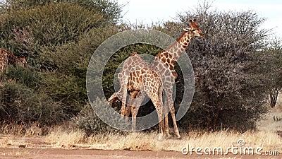 2 молодых мужских жирафа увиденное бой для привязанностей женщины в Ботсване сток-видео