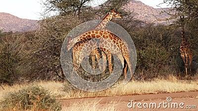 2 молодых мужских жирафа увиденное бой для привязанностей женщины в Ботсване акции видеоматериалы