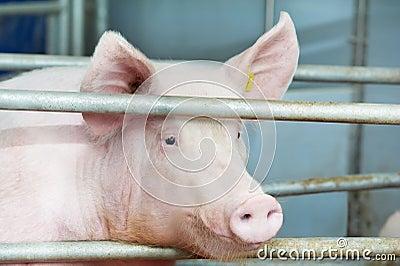 Молодая свинья в сарае