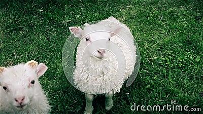 Молодая любознательная овечка держа наблюдательный глаз на камере акции видеоматериалы