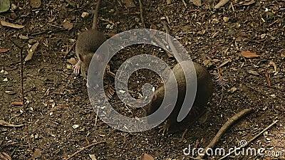 Мыши едят зерно сток-видео