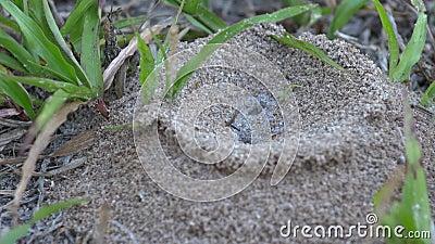 Насыпь муравья огня Флориды в дворе, КОНЦЕ, 4K акции видеоматериалы