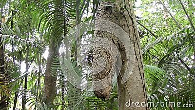 Насыпь муравья andreae Azteca в Панаме Arboreal вид муравья найденный в тропиках сток-видео
