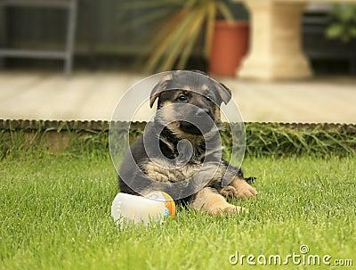 немецкий чабан щенка