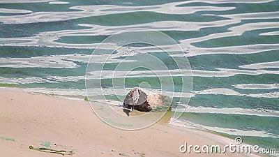 Немногое птица на песочном береге цветя Green River сток-видео