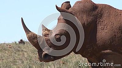 Носорог в Южной Африке, полной грязи акции видеоматериалы