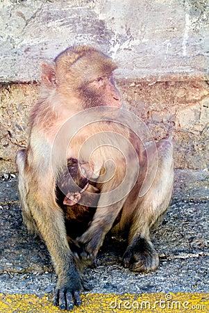 обезьяна мирная
