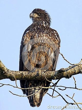 облыселый орел неполовозрелый