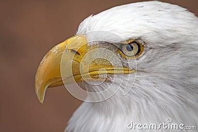 облыселый орел