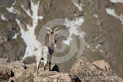 Овцематка Bighorn