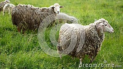 Овцы при овечка смотря камеру и bleats сток-видео