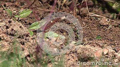 Оголтелые муравьи вползая через насыпь грязи при птицы чирикая на заднем плане видеоматериал