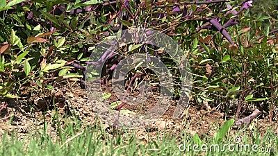Оголтелые муравьи вползая через насыпь грязи при птицы чирикая на заднем плане сток-видео
