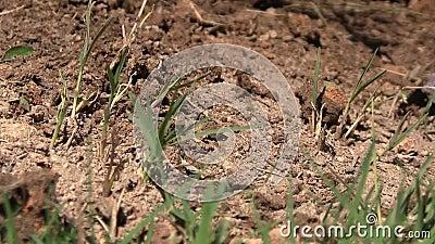Оголтелые муравьи вползая через насыпь грязи видеоматериал