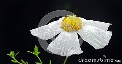 Одичалое цветене Spectacular цветка мака сток-видео