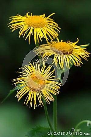 Одичалый цветок