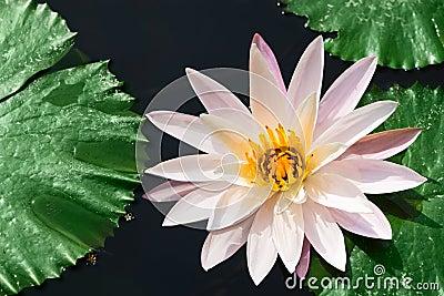 Одна лилия белой воды