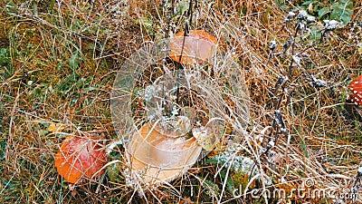 Октябрь осенний сезон сбора грибов Сверху, сверху, большое количество мухи агарического и других грибов в траве видеоматериал