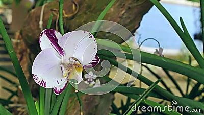 Орхидея фаленопсиса видеоматериал