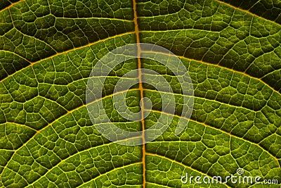 освободите вены листьев