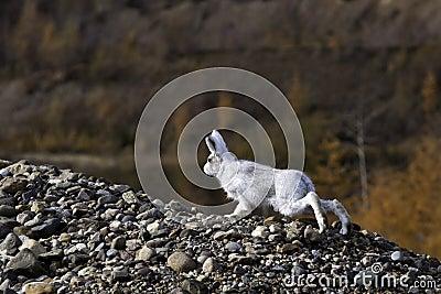 Одичалые зайцы