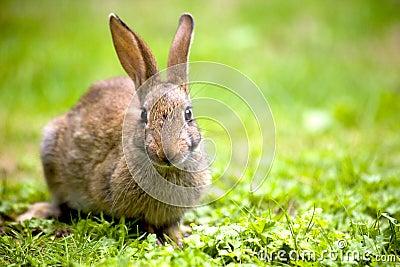 Одичалый кролик