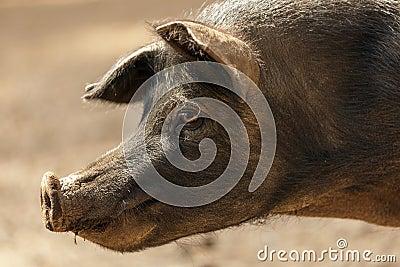 Одичалый портрет свиньи